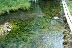 Эти водоросли, живущие в горячей воде, применяют для лечения.