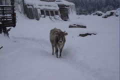 Замечательные местные коровы с мохнатыми ушками