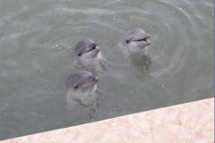 Дельфины прощаются с нами