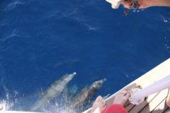 Одно из развлечений дельфинов - плыть перед кораблем на выталкивающей волне.